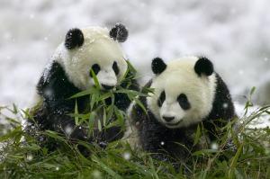 二頭のパンダ